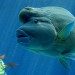 Un Pesce Napoleone nelle acque della Nuova Caledonia